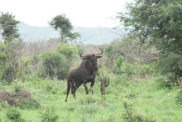 Wildebeest a.k.a gnu