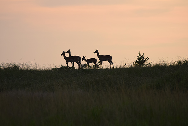 Impalas in sunrise