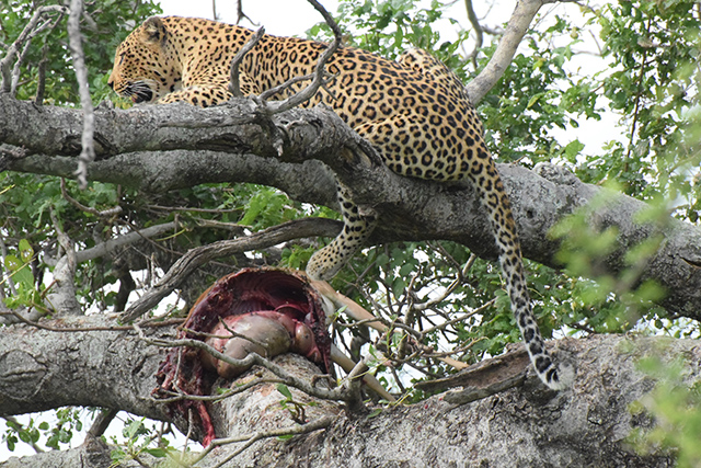 Lepard with dead impala