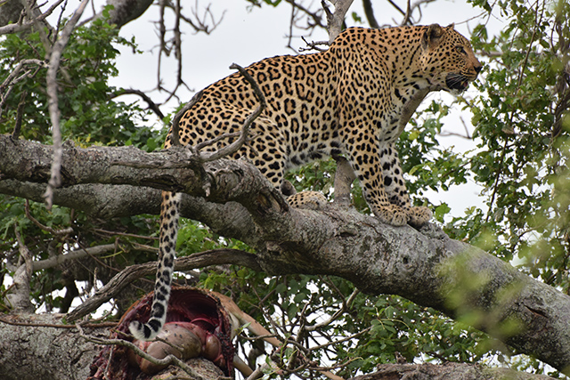 Lepard in tree with dead impala